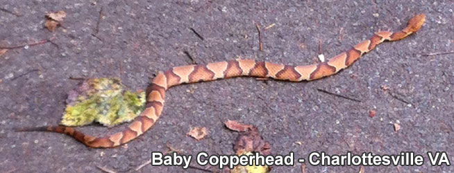 copperhead snake information facts