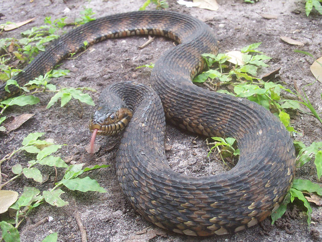 Banded Water Snake Information & Facts