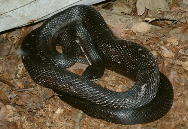 Black Rat Snake Information Facts