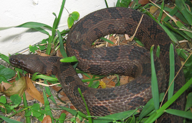 Brown Water Snake Information Facts