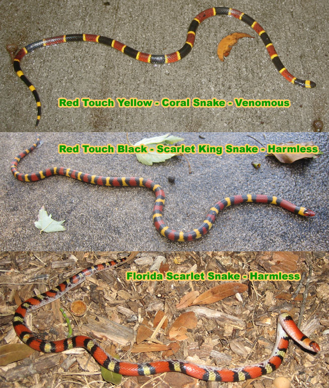 Coral snake riddle