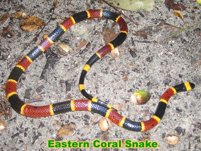 Snake Rhyme For Coral Snake Coral Snake Information