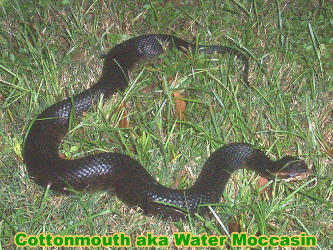 Cottonmouth Snake Information Facts