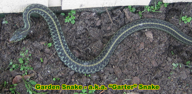 Garden Snake Information & Facts