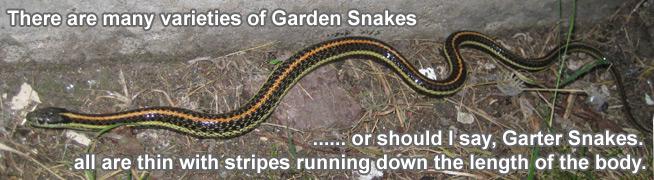 garden snake information facts gardener snake - Garden Snake Bite