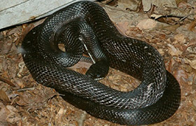 Common Snakes of Texas