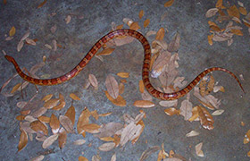 Identify a snake together with Lake McConaughy Forsberg Photo further Northcarolina also 6812342529 as well Butterflies Of North America 533662724. on types of snakes in north carolina