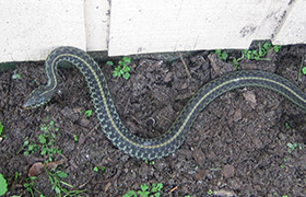 Common Snakes of Virginia, and Venomous Ones