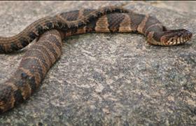 Common And Venomous Snakes Of Illinois