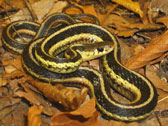 Garter Snake Information & Facts
