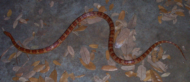 Red Rat Snake Information Amp Facts