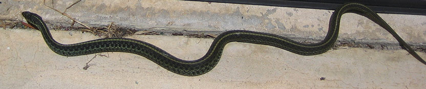 Keeping Your Lawn Mowed Will Prevent Snakes From Venturing Too Far Out.  Short Grass Provides Them With Nothing That Is Appealing.