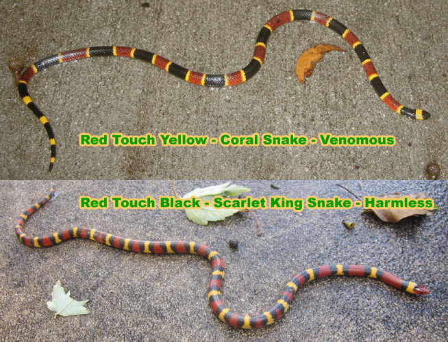 Rhyme for Coral Snakes
